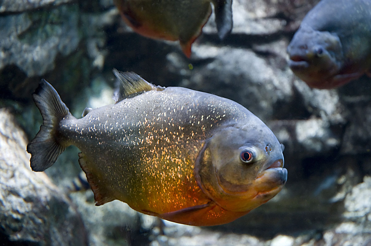 Redbellied Piranha  Wikipedia