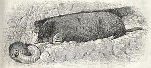 Heubach mole