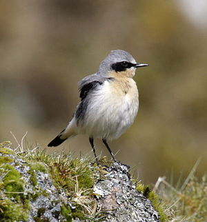 English: Northern Wheatear (Oenanthe oenanthe)...