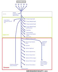 radial nerve diagram golf cart battery wiring ez go 1989 wikipedia