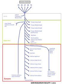 Radial nerve  Wikipedia