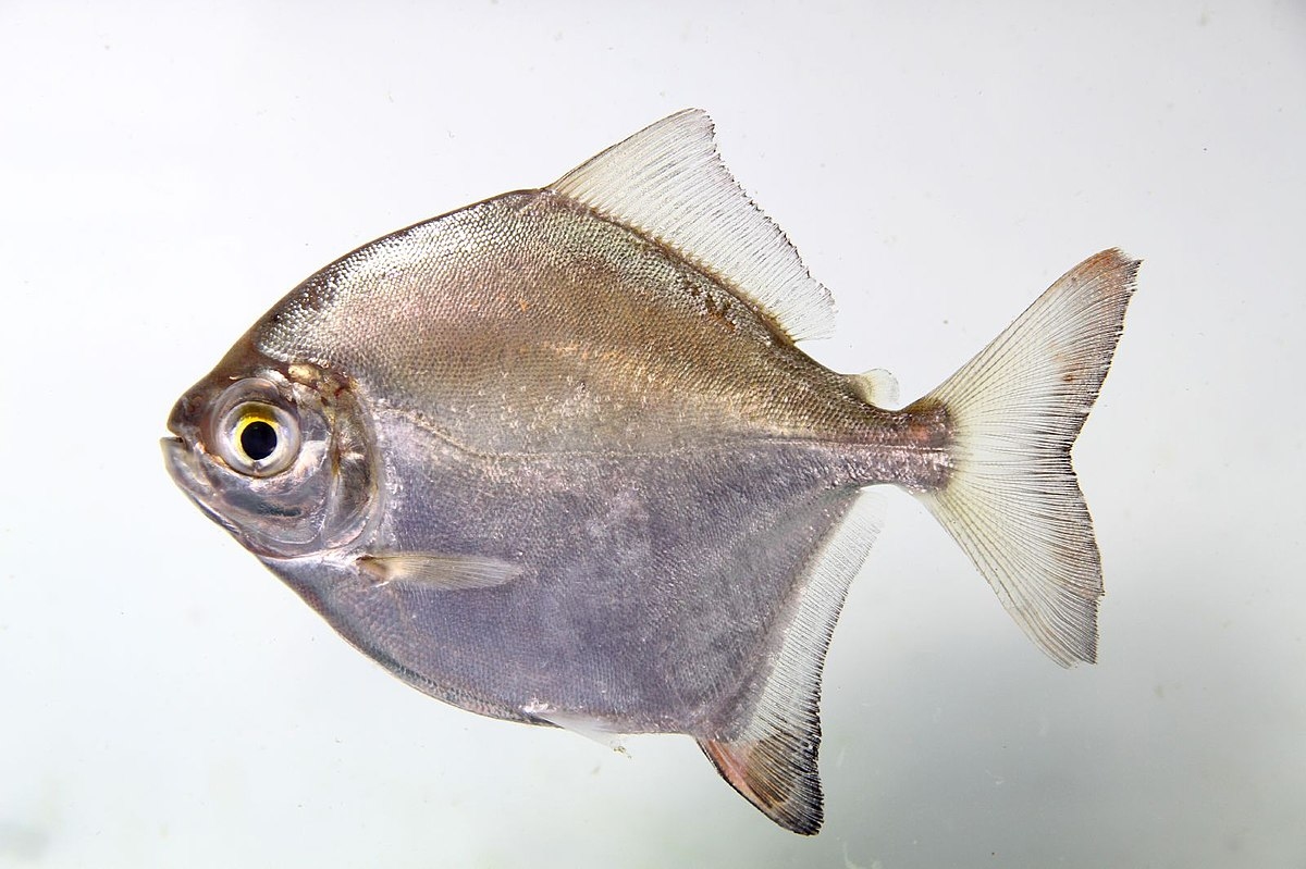 Myloplus  Wikipedia