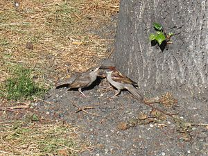 English: A male House Sparrow feeding its young