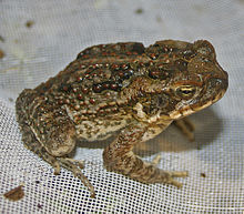 A juvenile cane toad, showing many of the features of the adult toads, but without the large parotoid glands.