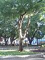 Brazilwood tree in Vitória, ES, Brazil.jpg