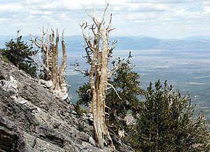 English: Bristlecone Pines on a spur ridge bel...