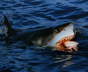 A great white shark at Isla Guadalupe, Mexico ...