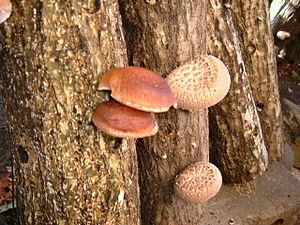 Shiitake mushroom. 自家栽培のシイタケ on Konara (Quercu...