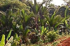 Kebun kiray. Darmaga, Bogor.
