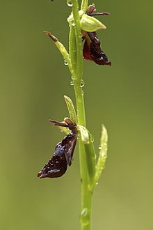 Ophrys Insectifera Wikipedia