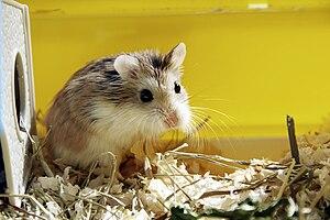 English: Roborovski hamster