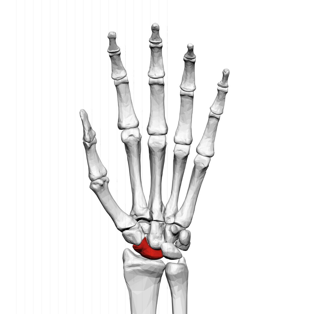 Scaphoid bone - Wikipedia
