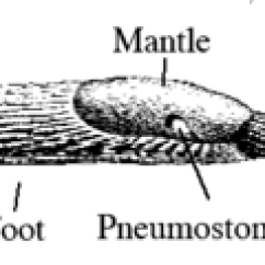 Slug Anatomy Diagram Bmw E46 Ecu Wiring Wikipedia Drawing Of With Labels For The Foot Bottom Side Fringe