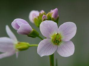 English: wild flower