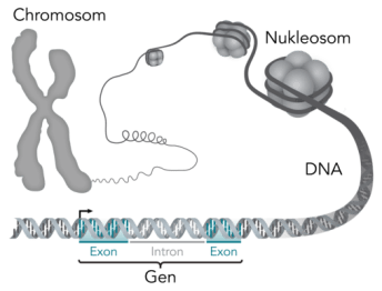 Chromosom-DNA-Gen