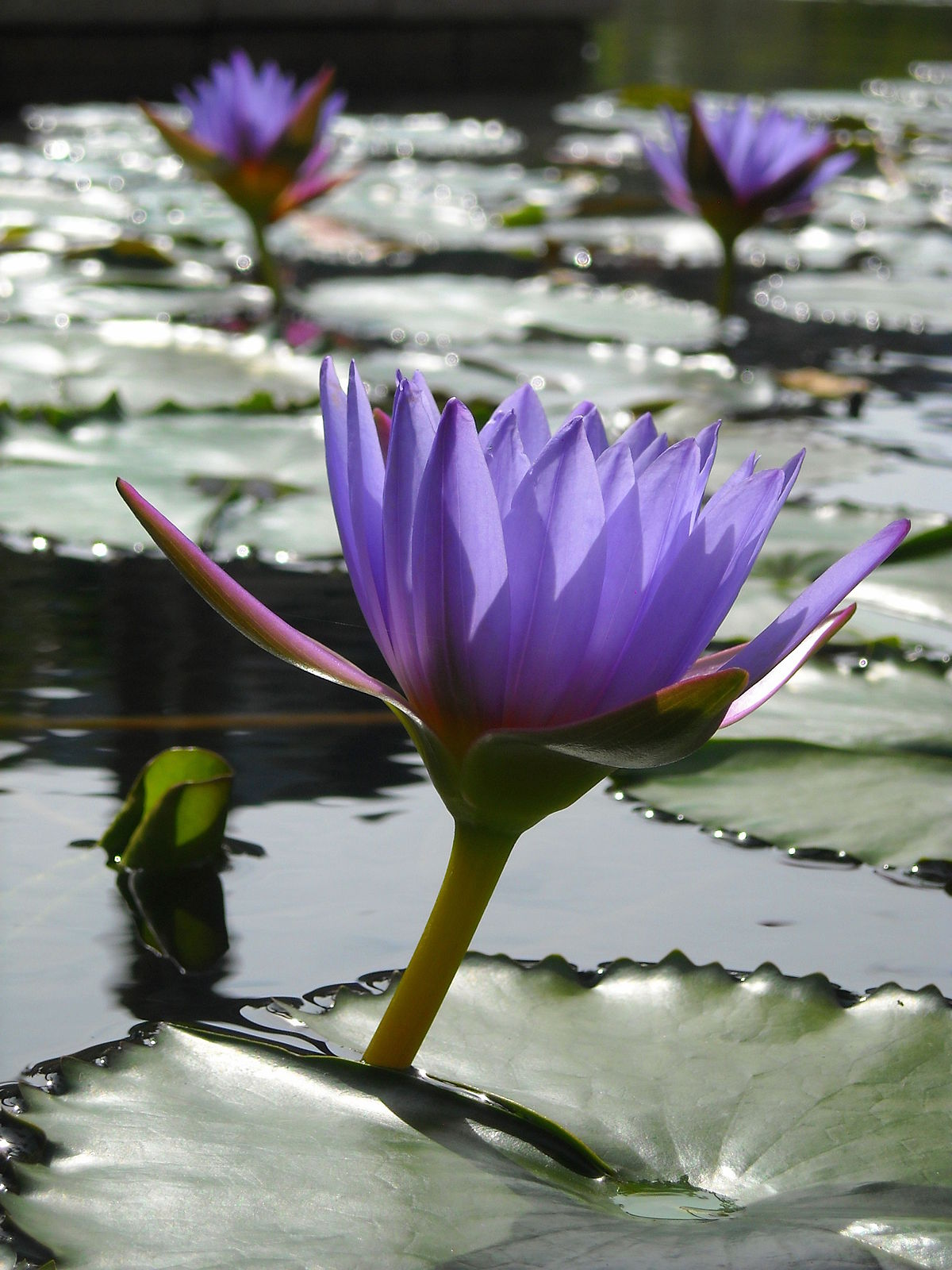 lotus in water plant diagram land rover discovery 2 seat wiring planta aquática  wikipédia a enciclopédia livre