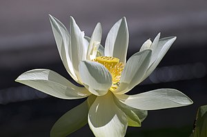 Lotus Water Flower.jpg