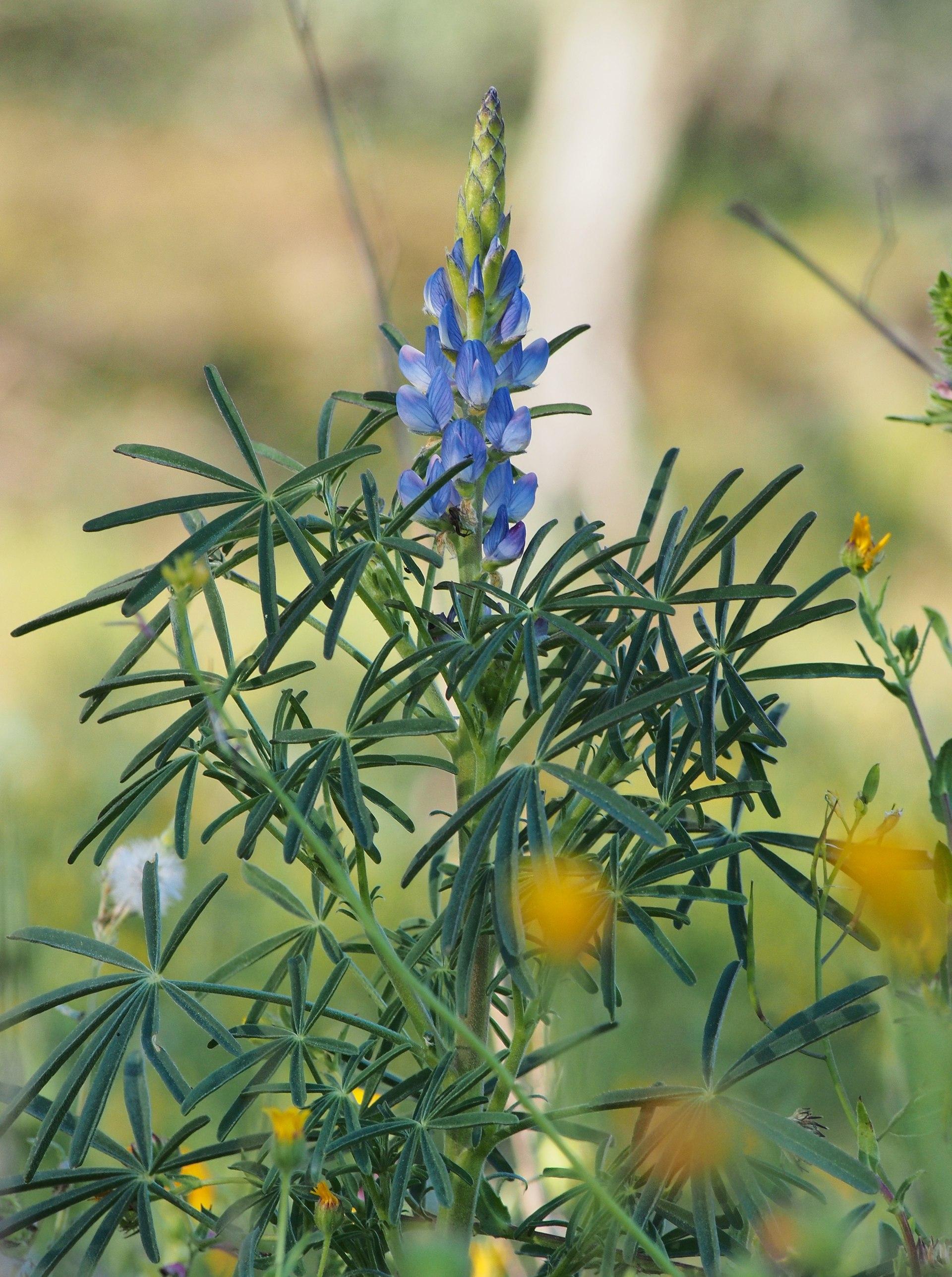 Lupinus angustifolius  Wikipedia