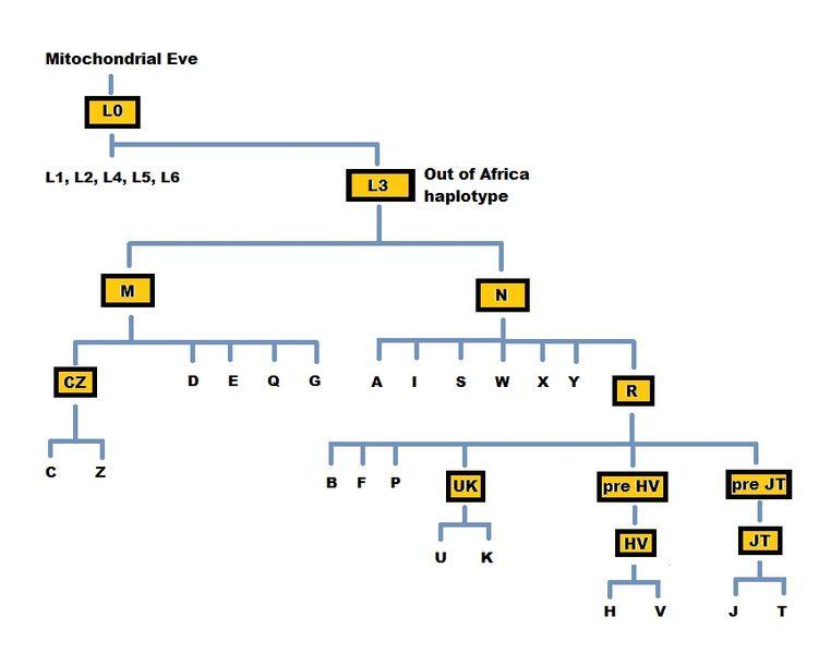 File:MtDNA tree.jpg