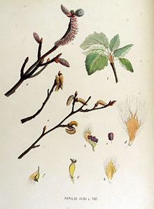 Populus alba  Wikipedia la enciclopedia libre