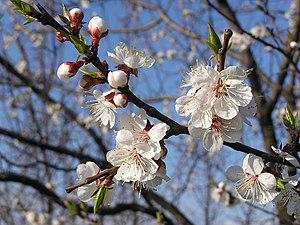 flowers of Prunus armeniaca Français : Fleurs ...