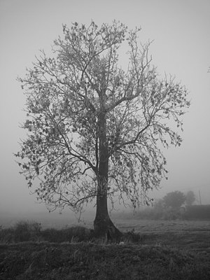 English: Tree in Freezing Fog Tree on side of ...