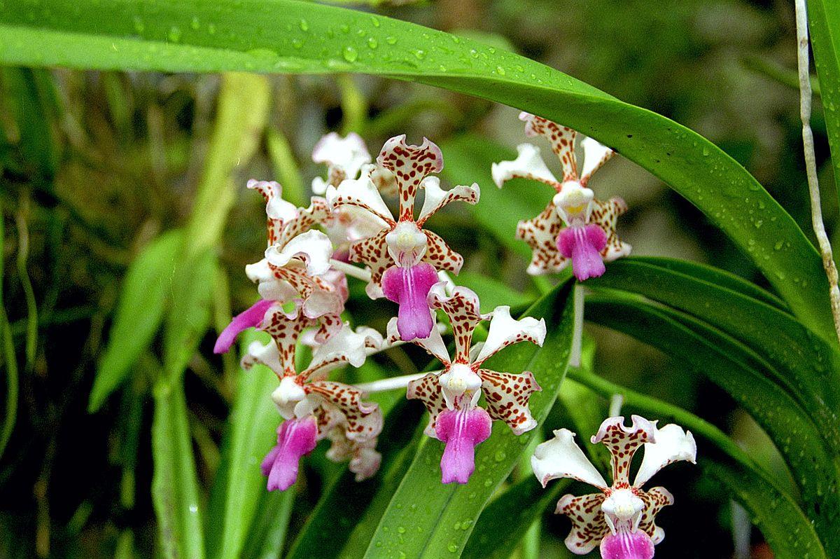 Vanda tricolor var suavis  Wikimedia Commons