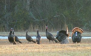 A flock of Eastern Wild Turkeys (Meleagris gal...