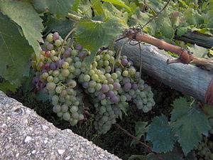 Photo taken in Maiori, Italy uva