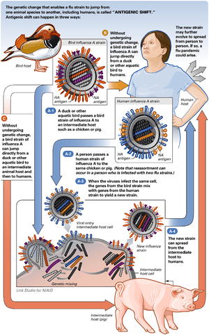 Illustration of antigenic shift