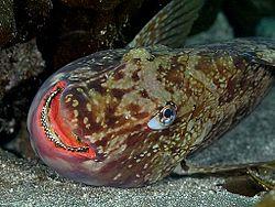 50+ブダイ 魚 - 最高の花の畫像