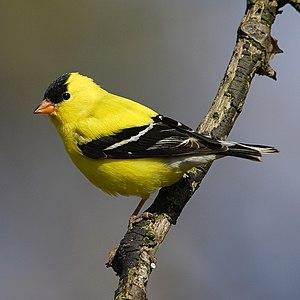 American Goldfinch. Canada Rondeau Provincial ...