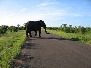 English: Elephant crossing the road in Kruger ...