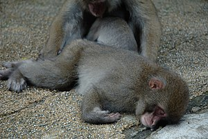 sleeping Japanese macaques in Kanba falls