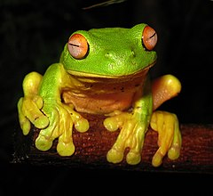 Red-eyed Tree Frog - Litoria chloris edit1