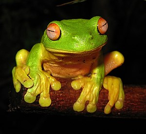 The Red-eyed Tree Frog (Litoria chloris) found...