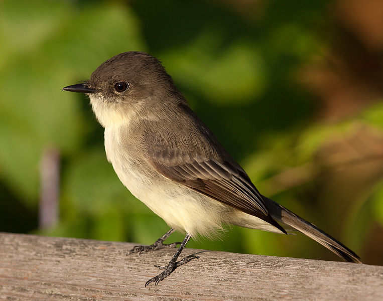 File:Sayornis phoebe -Owen Conservation Park, Madison, Wisconsin, USA-8.jpg