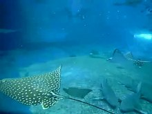 File:Spotted eagle rays swimming by.webm