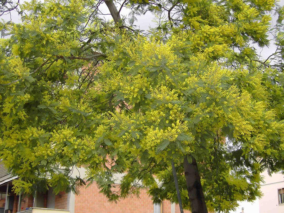 Acacia dealbata  Wikipdia a enciclopdia livre