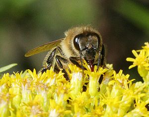 Description: Honey bee on calyx of goldenrod