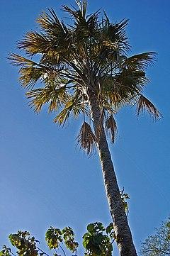 Pohon gebang yang telah tua Banyumas, Jawa Tengah