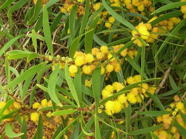 Acacia Cyperophylla - Year of Clean Water