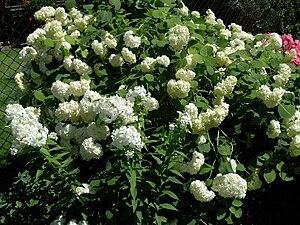 Hydrangea arborescens (maybe 'Annabelle')