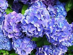 Hydrangeaceae : Hortensia