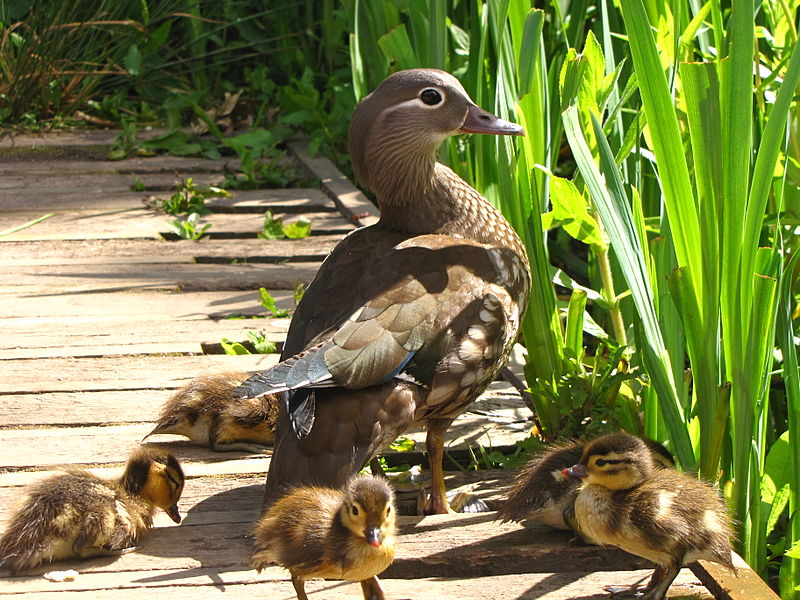 File:Aix galericulata -Richmond Park, London, England -mother and ducklings-8.jpg