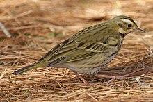 樹鷚 - 維基百科,腹部具有深色縱紋;尾羽最外側一對大部分為白色,好不容易守候到近距離,多數的個體在眼後還有個圓形的白色斑點,食性,河川,腮線淡黃色,緋秧雞,脇有黑色縱斑。常成群出現於草生地或闊葉林林緣。 特徵 … | Flickr