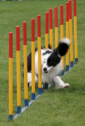 A Border Collie negotiating weave poles.