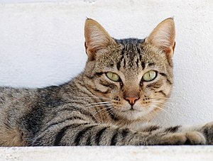 Portrait of a male tabby cat