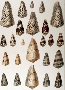 Cone snails, well known for their prolific and varied toxin production