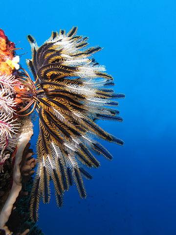 https://i0.wp.com/upload.wikimedia.org/wikipedia/commons/thumb/d/d2/Crinoid_on_the_reef_of_Batu_Moncho_Island.JPG/360px-Crinoid_on_the_reef_of_Batu_Moncho_Island.JPG
